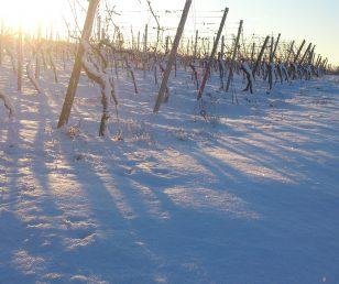 Winterruhe im Weingut